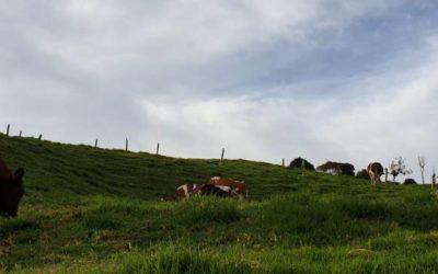"""Brote de la enfermedad de """"Mal de tierra"""" en bovinos de la región"""