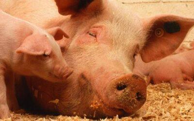 La cría de cerdos es representativa en el 32% de los predios del municipio